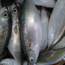 Indian mackerel whole round , 90% NW , 10% GL