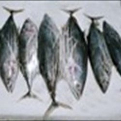 Skipjack Tuna Whole Round