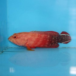 Live Red Grouper