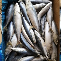 Frozen Atlantic Mackerel For Sale / Frozen Mackerel fish,atlantic-mackerel ,Scomber-Scombrus