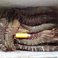 Fresh Black Sea Tiger Shrimp