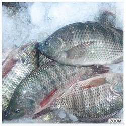 Good Quality Frozen Tilapia Fish Price