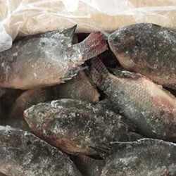 Best Quality China Farming Fresh Frozen Black Tilapia Whole Round
