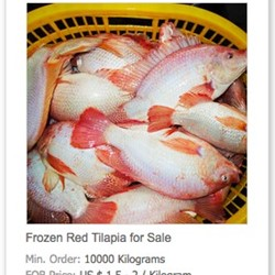Frozen Red Tilapia For Sale