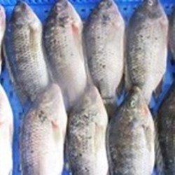 Frozen Tilapia Whole Fish Wholesales Price