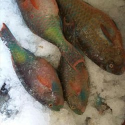 Fresh Parrotfish (hook Line Caught)