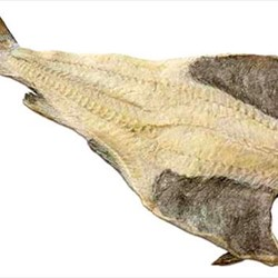 Iceland Salted Codfish
