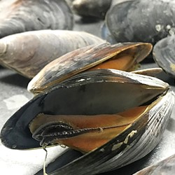 Black Sea Mussel