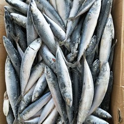 Frozen Pacific Mackerel whole round