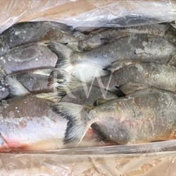 Frozen Red Pomfret Whole Round