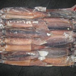 Frozen Illex Squid For Commercial Fishery Bait