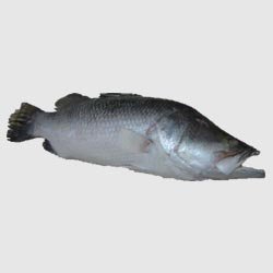 Sea Bass W/r ,fresh Or Frozen
