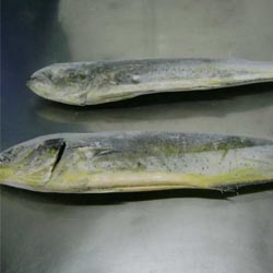 Mahi-mahi Fillets Parts