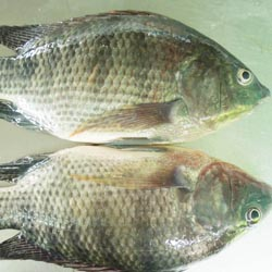 Frozen Whole Kariba Bream (gutted), Frozen Kariba Tiger Fish, Frozen Fresh Kapenta