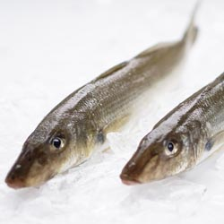Whiting Fish